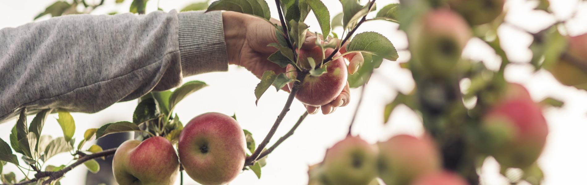 Bodensee-Äpfel